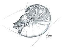 Perlboot, Skizze, Nautilus, Bleistiftzeichnung