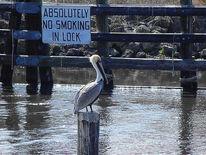 See, Wasser, Okeechobee, Pelikan