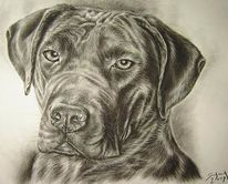 Dogge, Canario, Hundezeichnung, Dogo