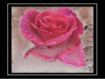 Fotografie, Rose, Blüte, Digitale kunst