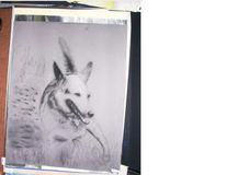 Zeichnungen, Schäferhund