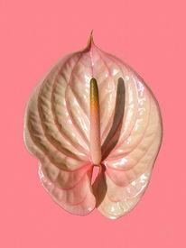 Rosa, Pink, Blumen, Flamingoblume
