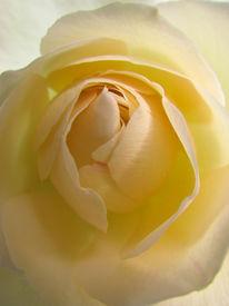 Blumen, Gelb, Rose, Fotografie