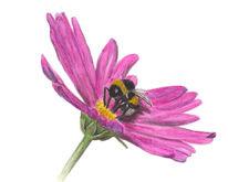 Schmuckkörbchen, Hummel, Erdhummel, Blumen