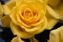 Sommer, Rose, Makro, Gelb