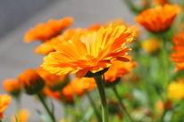 Ausschnitt, Ringelblume, Sommer, Makro