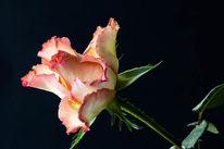 Rose, 2017, Blumen, Blüte
