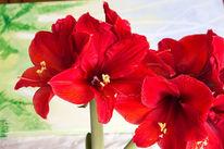 Makro, Blüte, Amaryllisblüten, Rot