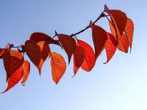 Herbst, Rot, Zweig, Blätter