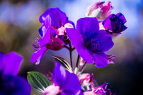 Blau, Blätter, Tibouchenie, Herbst