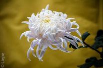 Blumen, Weiß, Herbst, Chrysantheme