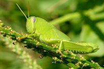 Natur, Grün, Wiese, Heuschrecke