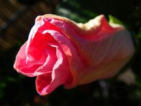 Pink, Fotografie, Wunder, Blüte