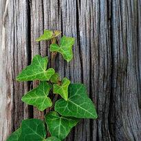 Maserung, Blätter, Holz, Efeu