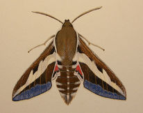 Schmetterling, Labkrautschwärmer, Aquarellmalerei, Aquarell