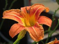 Fotografie, Tropfen, Blumen, Orange