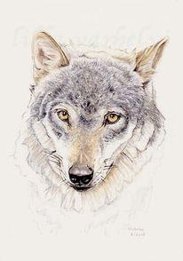 Tiere, Wildtier, Tuschezeichnung, Wolf