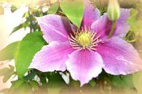 Clematis, Natur, Rose, Licht