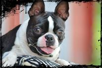Juna, Boston, Terrier, Welpe
