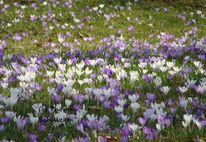 Frühjahr, Frühling, Lila, Krokus