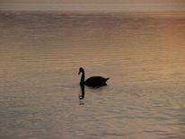 Der schwarze schwan, Black swan, Schwarz, Schwan
