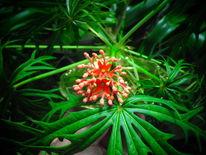 Jatropha, Jatropha multifida, Korallenstrauch, Korallenbaum