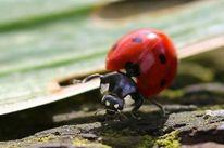 Marienkäfer insekten makro, Fotografie