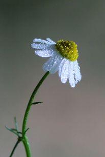 Kamille, Natur, Fotografie