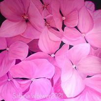 Rosa, Hortensien, Blüte, Pink