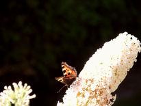 Schmetterling, Insekten, Schmetterlingsflieder sommerflieder, Fotografie
