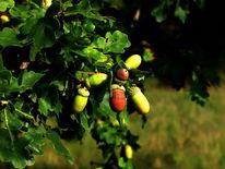 Baum, Eicheln, Blätter, Eichen
