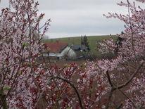 Frühling, Rosa, Blüte, Haus