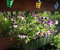 Sommer, Natur, Hornveilchen, Blumen
