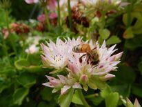 Garten, Blüte, Tiere, Biene