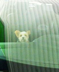 Portrait, Auto, Beifahrer, Hund