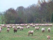 Wiese, Baum, Sommer, Schaf