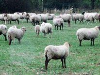 Nummer, Herd, Wiese, Schaf