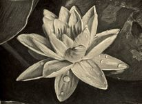 Seerosen, Blüte, Teich, Zeichnungen