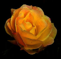 Blumen, Natur, Gelb, Digitale kunst