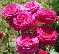 Rose, Blumen, Pflanzen, Natur