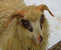 Tiere, Natur, Schaf, Fotografie