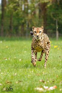 Gepard, Rennen, Laufen, Schnell