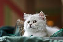 Katze, Blh, Britisch, Langhaar