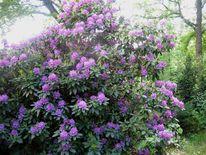 Blühen, Rhododendronbusch, Busch pflanze, Fotografie