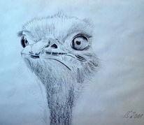 Emu, Zeichnung, Zeichnungen