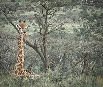 Ruhen, Afrika, Giraffe, Tierwelt