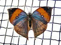 Insekten, Tiere, Schmetterling, Exotisch