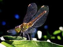 Insekten, Tiere, Libelle, Natur