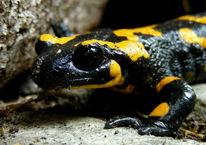 Natur, Tiere, Reptil, Salamander