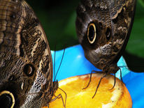 Blauer morpho, Schmetterlingspark, Orange, Schmetterling